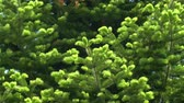 kozalaklı : UHD closeup graded shot of the green fir tree moving with the wind