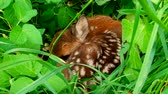Cub from deer lying in the grass