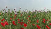 Field of blossoming poppy