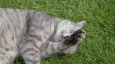 kraliçe : Gray cat lying in the grass and lazily rolling