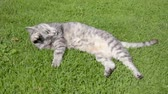 bichano : The gray cat lies in the grass and licks his fur. Vídeos