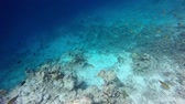 deniz yaşamı : schools of blue fish on a reef in the Maldives