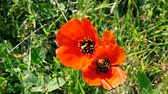 пчела : Two Bees collecting nectar pollen on red poppy flower