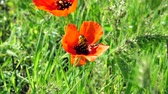 пчела : Flower of red poppy with a big bee collecting pollen