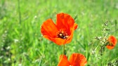 пчела : Flower of red poppy with a bee collecting pollen and washing