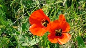 пчела : close up of Two Bees collecting nectar pollen on red poppy flower