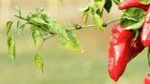 pimiento : Sweet pepper on a vegetable garden