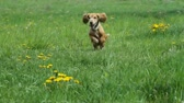 field : Cocker Spaniel runing on a green meadow