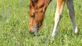 male animal : Beautiful foal on a meadow Stock Footage