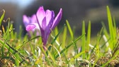 delicado : Violet spring crocuses bloom and bright sunlight