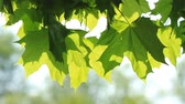 urlop : Maple green leaves on the tree and sunlight Wideo
