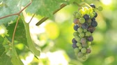çiftçilik : Grapes grow on plantation and sunlight Stok Video