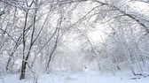 Trees with snow in winter forest. Stok Video