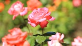 pink flower : Blooming roses in the garden Stock Footage