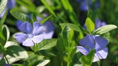Periwinkle blooms in the spring garden Stok Video