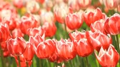 Flowerbed of red tulips in the summer.