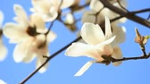 White magnolia blooms on a tree