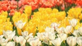 Multicolored tulips bloom in spring park