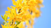Yellow flowers of Forsythia and bee blossomed in spring