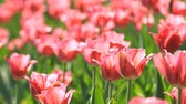 Flowerbed of pink tulips in the springtime Stok Video