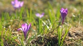 Violet crocuses grows in the sunlight
