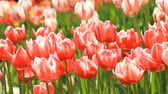 Red and white tulips grow on a flower bed Stok Video