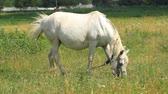 White horse grazes in a meadow