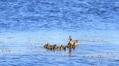 Mother duck and baby duckling swimming in the sea Stok Video