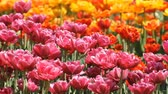 Multicolored tulips growing in spring park Stok Video