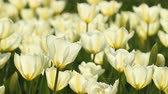 paskalya : Tulips bloom and swing in the sunlight