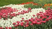 Flowerbed of multicolored tulips in spring park