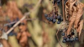 trepadeira : Dry girlish grapes in the wind Vídeos