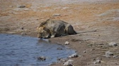 simbabwe : Young Lion Trinkwasser aus Fluss in der Kruger National Park, Südafrika. Stock Footage