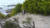 african penguin : African Penguin colony at Boulders Bay on the southern coast of South Africa Stock Footage