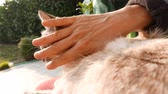 Domestic cat petted by woman hand. Outdoors setting, backlight.