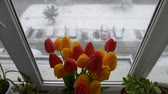 tabby : American shorthair cat playing near bouquet of tulips on window in winter day. Stock Footage
