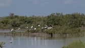 postura : A flock of flying White Ibis (Eudocimus albus) in Zapata, Cuba.