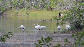 postura : A flock of White Ibis (Eudocimus albus) standing in a swamp in Zapata, Cuba.