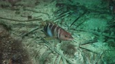 serrano : Painted comber (Serranus scriba) over the bottom of Mediterranien sea Stock Footage