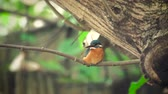 male animal : 4k video with kingfisher sitting on branch