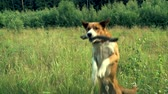refreshment time : The dog catches a stick Stock Footage