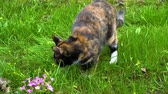piccolo : Tricolor cat sniffs grass and eats