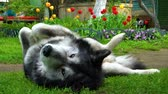 ランニング : Grey fluffy husky dog basking on the green grass 動画素材
