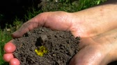 edades : A yellow dandelion sprouts through the ground in the palm of your hand Archivo de Video