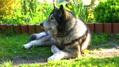 orelhas : Grey husky dog lying on the grass