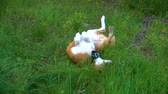 orelhas : Orange white dog lying on the grass, fooling around and tugging his paws Stock Footage
