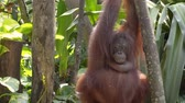 primát : orangutan are hanging on trees Dostupné videozáznamy