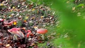 fungi : Beautiful mushrooms growing among the autumn leaves. Stock Footage