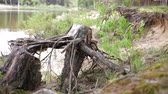 radical : Nature. Dry old stump with roots thrown on the shore.