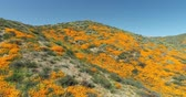 4k Drone Flight Footage Over California Poppies Super Bloom Wideo